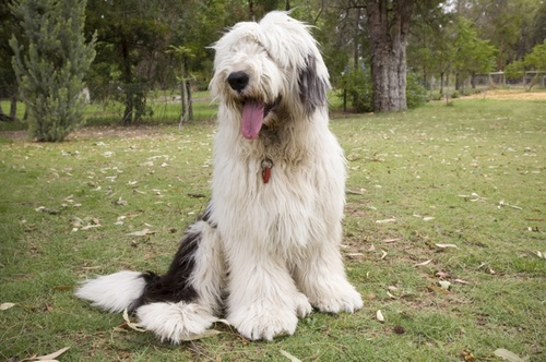 old-english-sheepdog.jpg